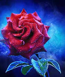 Red rose, a contrasting blue background, strewn with drops of dew.